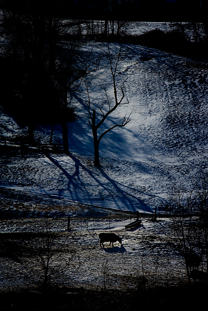 Cow in Snow : Undisclosed Location: Virginia USA
