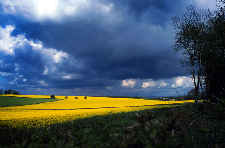 Fields of Gold : Near Ross on Wye Herefordshire : England