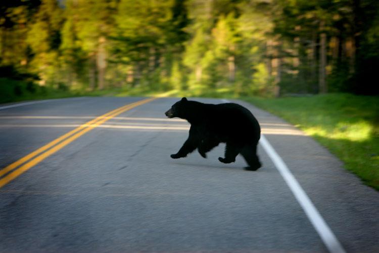 Zvířata stále vbíhají na silnici