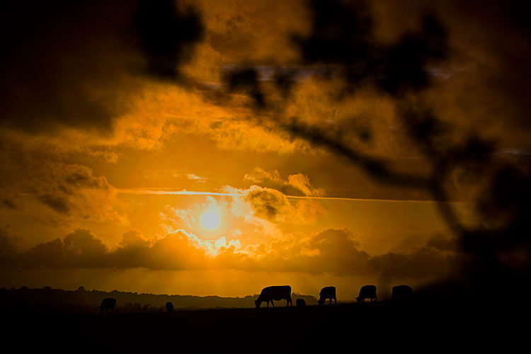 Cow Sunset : Freshwater : Isle of Wight UK